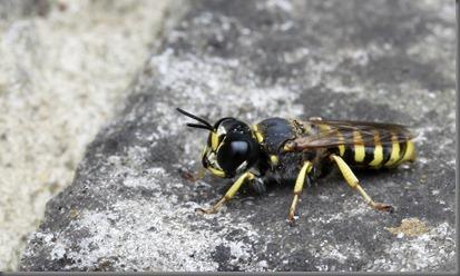 10_07_25_longfield_120_predatory_fly