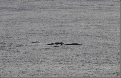 Cuviers Beaked Whale 1