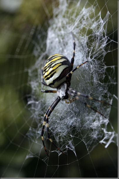 10_09_20_marshside_070_wasp_spider