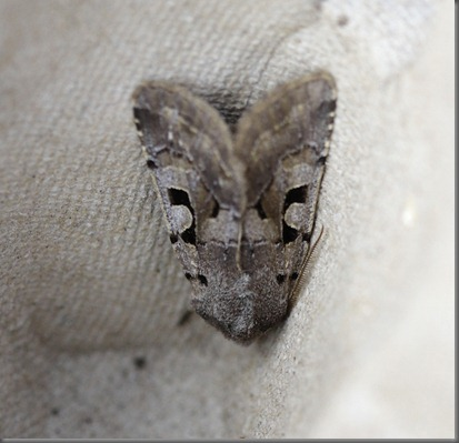11_03_13_moths_046_hebrew_character