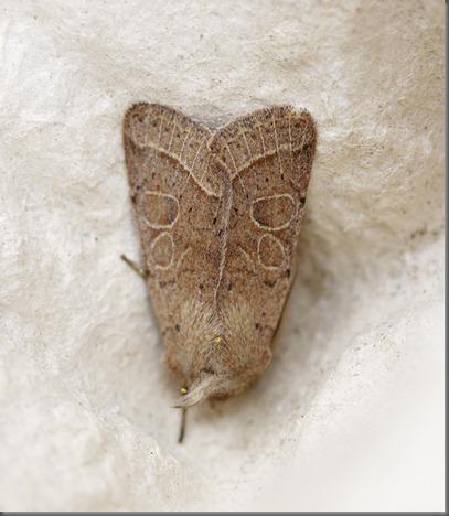 11_03_13_moths_077_common_quaker