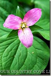 trillium-flower-9