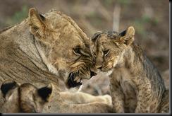 Misbehaving Cub, Masai Mara Game Reserve, Kenya