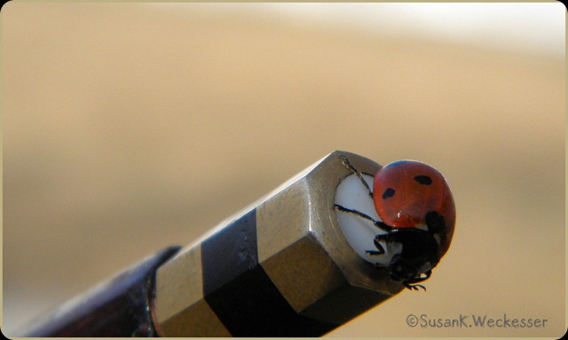 ladybug on bow