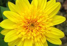 sarı papatya resmi