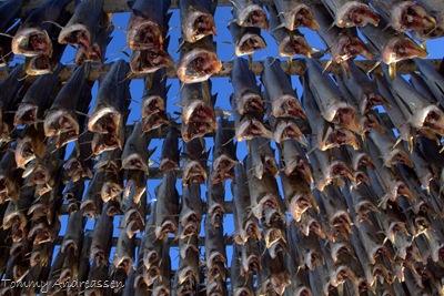 Tørrfisk i Lofoten