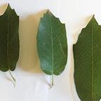monterey oak leaves.jpg