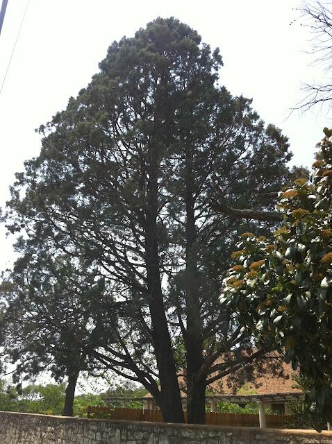 Cypress trees of central texas arizona cypress sciox Choice Image
