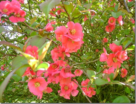 Kvæde og blomster maj 2009 010