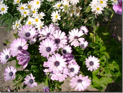 Blomster maj 006