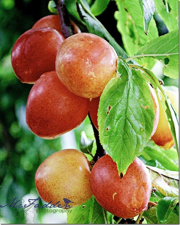 plums-web