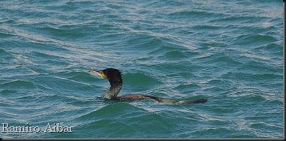 cormoran grande 1