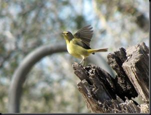 goldencrownedwarbler [800x600]