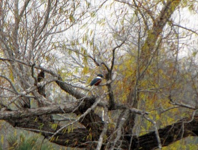 kingfisher [800x600]