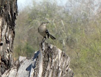Mockingbird [800x600]