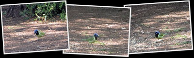 View Green jays