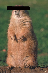 Black-Tailed-Prairie-Dog-5108.jpg
