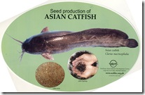Seed Production of Asian catfish