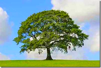 http://s3.amazonaws.com/pixmac-preview/oak-tree-symbol-of-strength-1.jpg