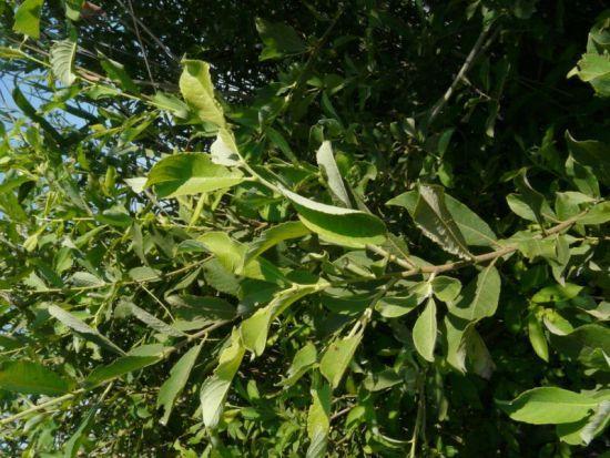 Arbusti - Sempreverde da giardino ...