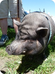 Alistair the pig 048