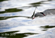tern over pond