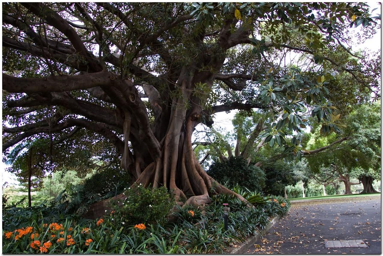 Tree in Sydney
