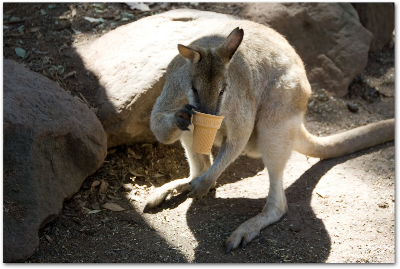 Wallaby with ice cream cone