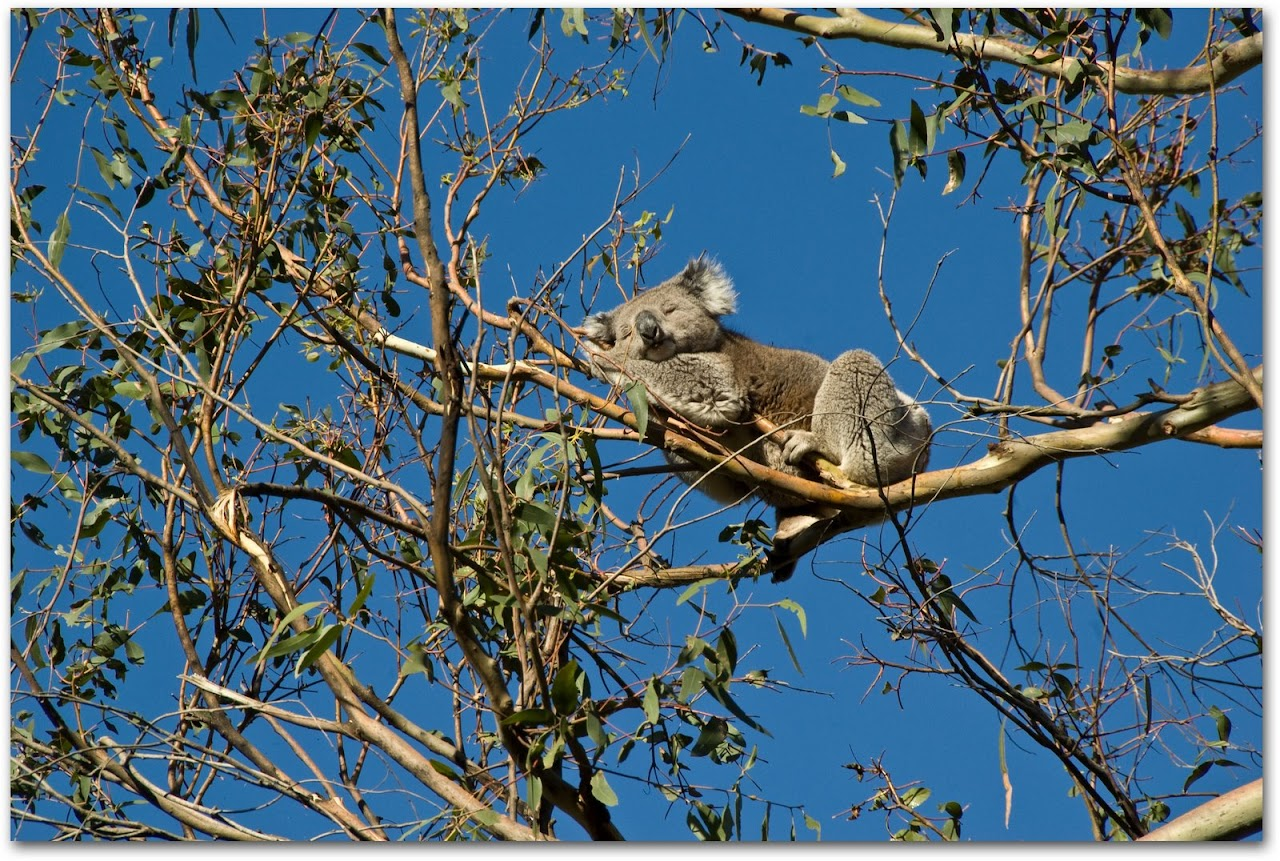 Koala sleeping in tree