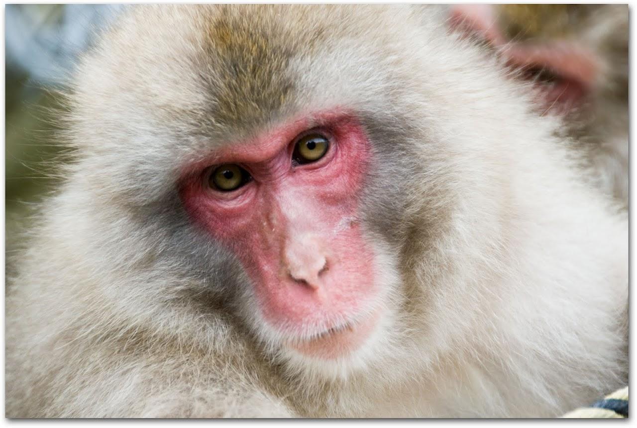 Monkey Jigokudani Park