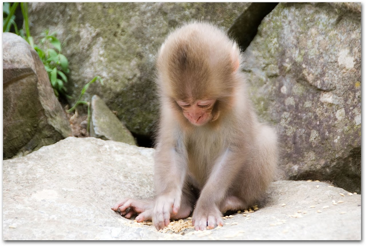 Baby monkey eating food