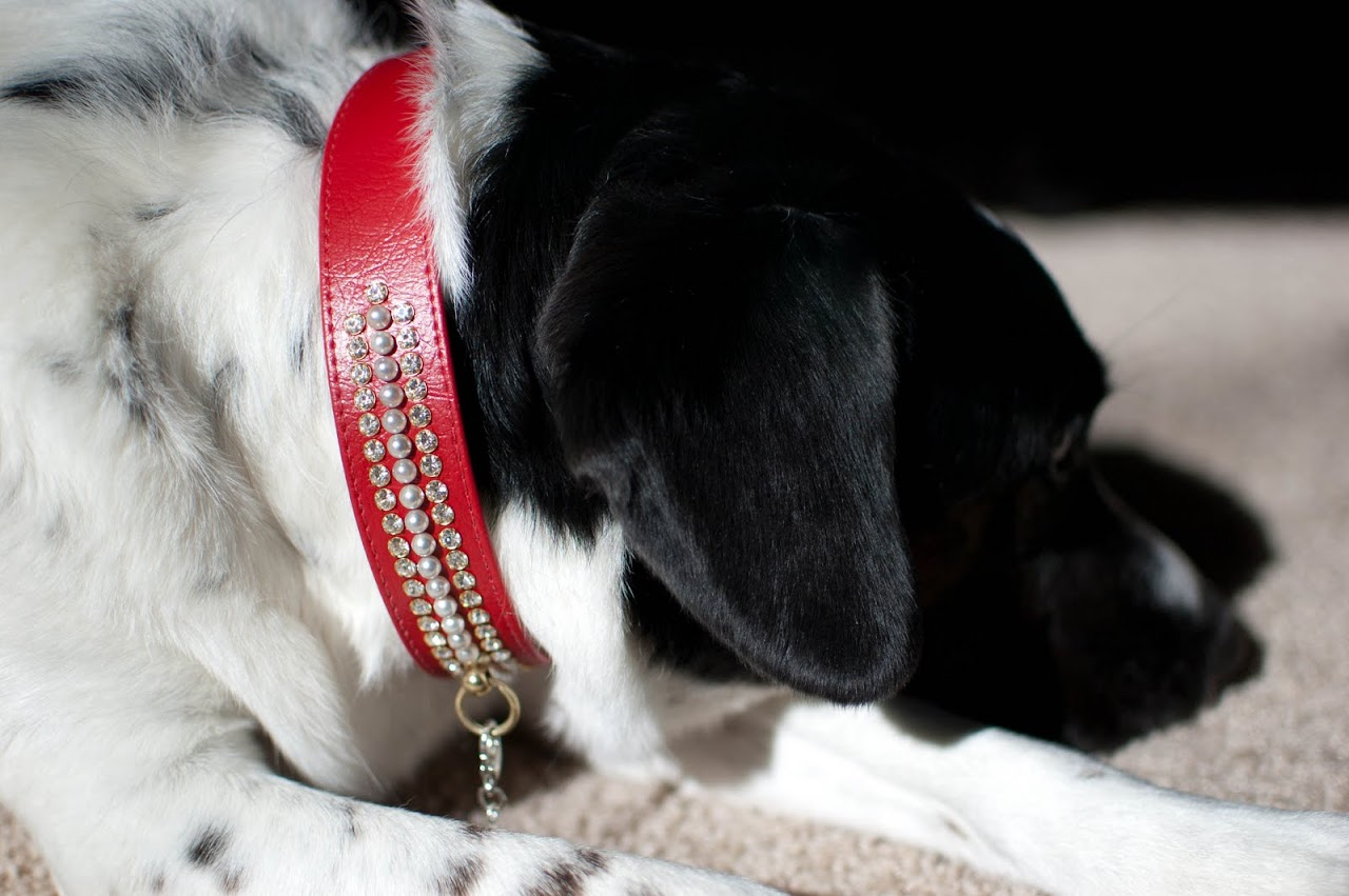 Abby in her collar