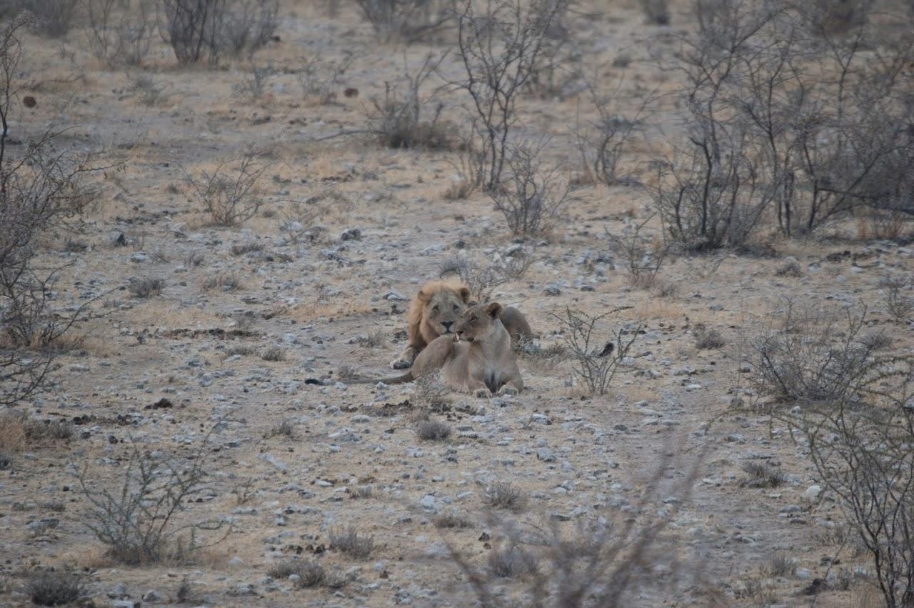 Lions at Etosha