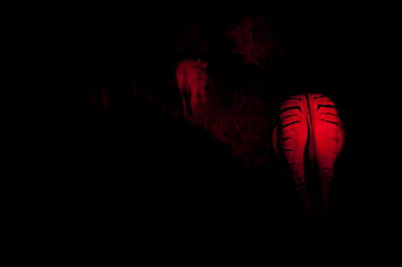 Zebras in the red light