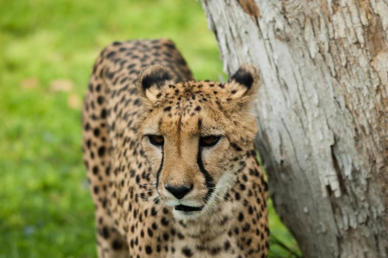 Cheetah against tree