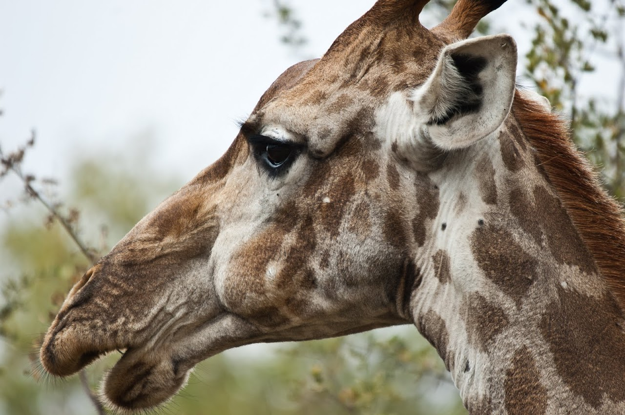 Giraffe looking