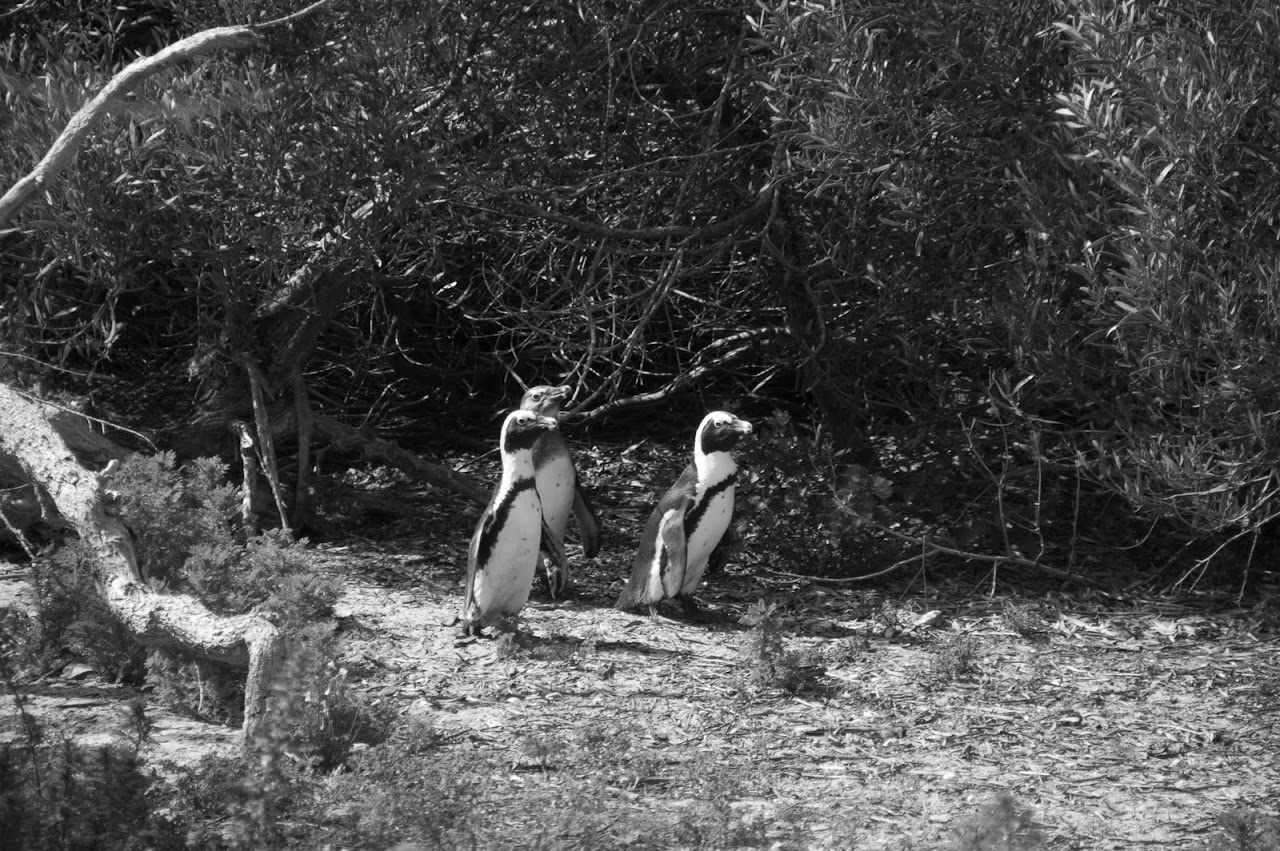 Penguins on Robben Island