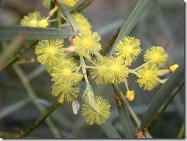 Acacia.iteaphylla.