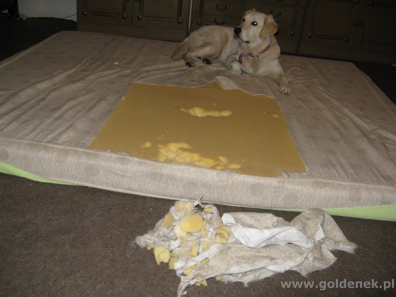 Golden Retriever i zniszczony materac
