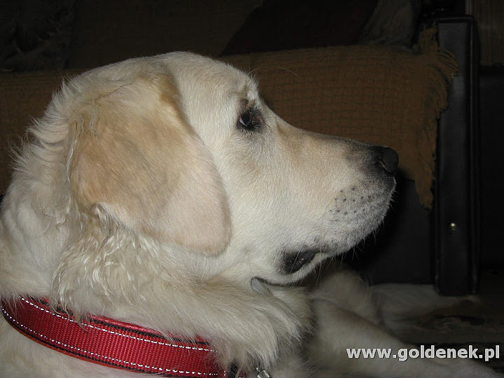 Golden retriver patrzy
