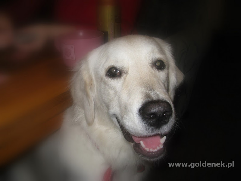 Golden Retriver awans