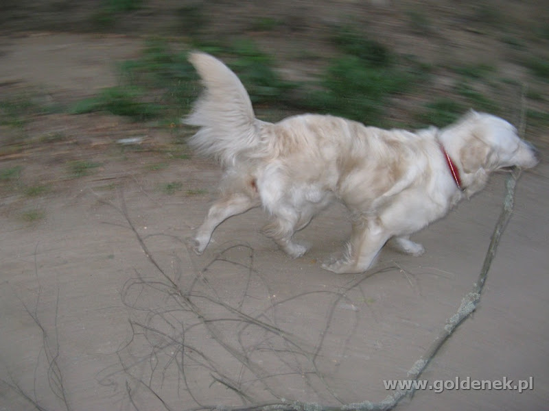 Golden Retriever ogon