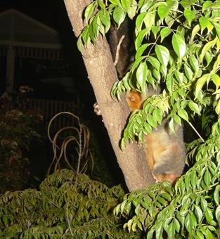 possum in my backyard