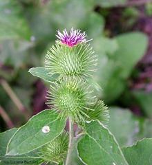 bardana-fiore