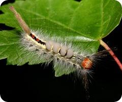 WhiteMarkedTussockMothCaterpillar[1]