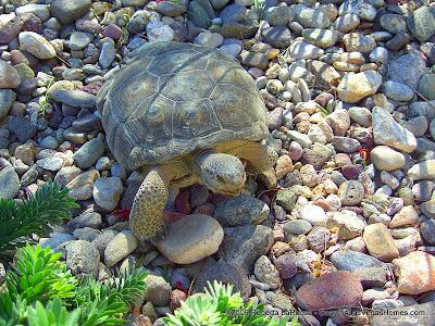Desert Tortoise from the Mojave - Las Vegas, NV area