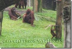 orangutan - Singapore Zoo