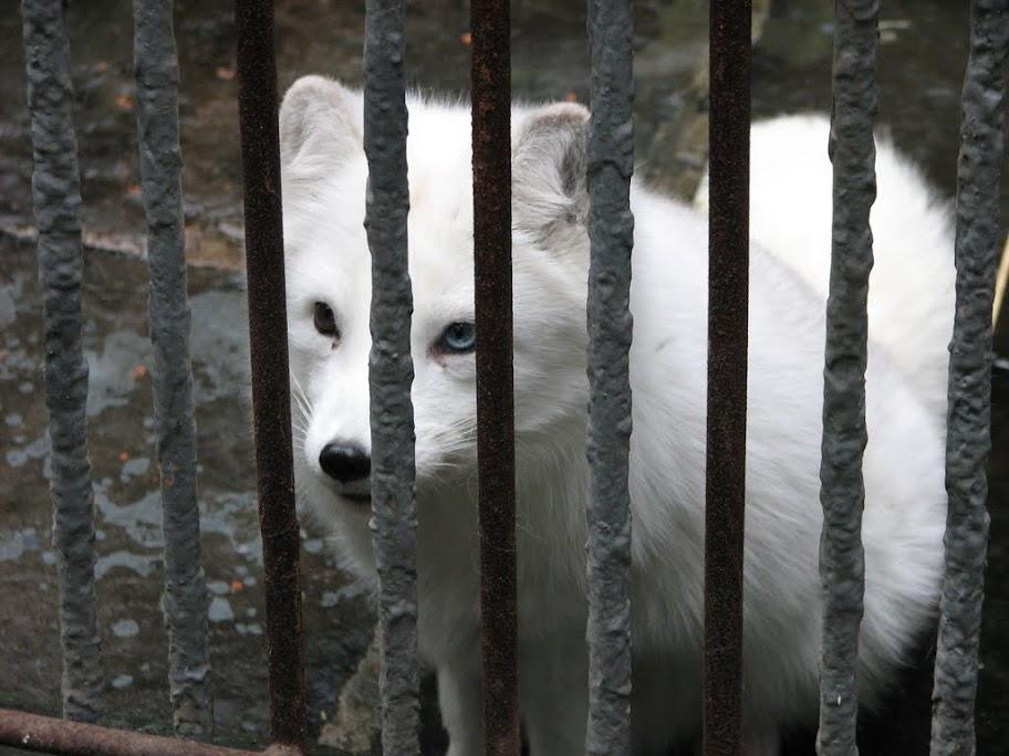 Petit renard blanc