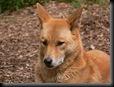 800px-Dingo_face444