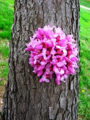 redbud flowers sprouting from tree trunk